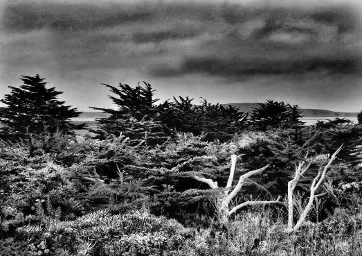 Bodega Dead Tree